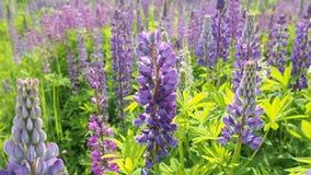 Honigbiene auf einem Feld des Lavendels blüht stock footage