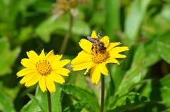 Honigbiene auf einem von zwei gelben Gänseblümchen ähnlichen Wildflowers in Krabi, Thailand Lizenzfreie Stockfotos