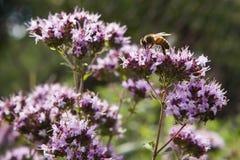 Honigbiene auf einer rosa Oreganoblume Lizenzfreie Stockbilder