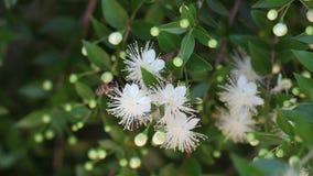 Honigbiene auf einer weißen Blume stock footage