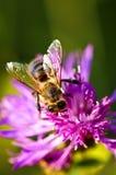 Honigbiene auf Flockenblume Lizenzfreie Stockfotografie