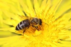 Honigbiene auf gelber Blume Lizenzfreies Stockfoto