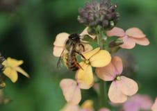 Honigbiene auf gelber Blume Stockfoto