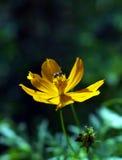 Honigbiene auf gelber Thickseed-Blume Stockfotos