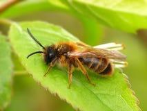 Honigbiene auf grünem Blatt Stockfotografie