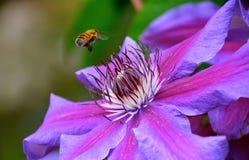 Honigbiene auf Klematis Stockbild