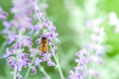 Honigbiene auf Lavendel lizenzfreie stockfotografie