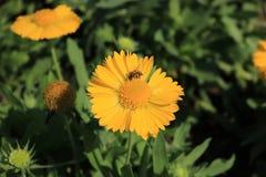 Honigbiene auf mexikanischer Sonnenblume Lizenzfreies Stockbild