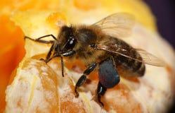 Honigbiene auf orange Frucht stockfotografie
