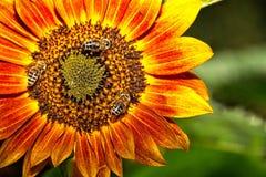 Honigbiene auf orange Sonnenblume Stockfotografie