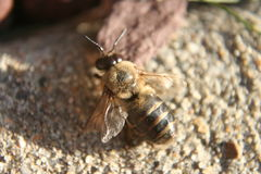 Honigbiene auf Pflasterung Stockbilder