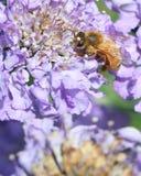 Honigbiene auf purpurroter Blume stockfotos