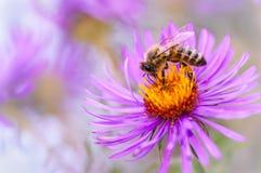 Honigbiene auf purpurroter Blume Stockbilder