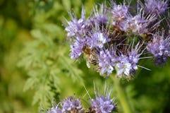Honigbiene auf purpurroter Tansyblume Stockfotografie