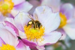 Honigbiene auf rosa Blume Stockfotos