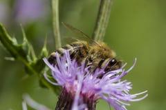 Honigbiene auf rosa Distel Lizenzfreies Stockbild