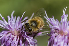 Honigbiene auf rosa Distel Lizenzfreie Stockfotos