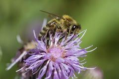 Honigbiene auf rosa Distel Lizenzfreie Stockfotografie