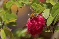 Honigbiene auf rotem Powderpuff Stockbilder