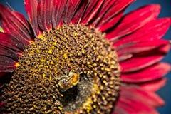 Honigbiene auf roter Sonnenblume Stockfotografie