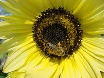 Honigbiene auf Sonneblume lizenzfreie stockfotos