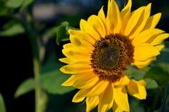 Honigbiene auf Sonnenblume in der Blüte sammeln Blumennektar und -blütenstaub im Sonnenschein Stockfoto
