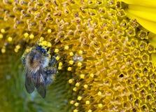 Honigbiene bedeckt in den Teilchen des Blütenstaubs bei auf ein helles gelbes Sonnenblumenstaubgefäß beschäftigt einziehen Stockbilder