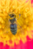Honigbiene bedeckt mit dem Blütenstaub Lizenzfreies Stockbild