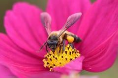 Honigbiene bestäubt von der roten Blume Stockfotografie