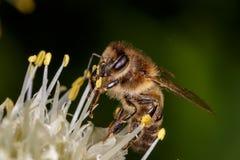 Honigbiene, Biene Stockfotos