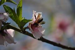 Honigbiene in der Aktion lizenzfreies stockfoto