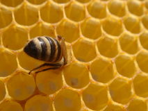 Honigbiene an der Bienenwabe Lizenzfreie Stockfotos