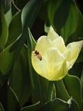 Honigbiene, die auf einer Tulpe stillsteht Lizenzfreie Stockfotografie