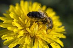 Honigbiene, die Blütenstaub auf gelbem Löwenzahn flo erfasst Lizenzfreie Stockbilder