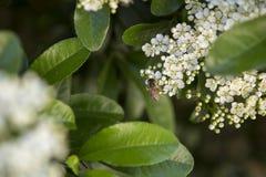 Honigbiene, die Blütenstaub erfasst Stockbilder