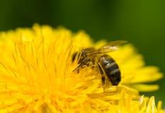 Honigbiene, die Blütenstaub montiert Stockfotos
