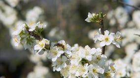Honigbiene, die Blütenstaub vom weißen blühenden Blumenbewegungshintergrund erntet stock video