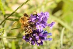 Honigbiene, die eine Lavendel-Anlage bestäubt Lizenzfreies Stockfoto