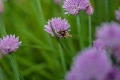 Honigbiene, die eine purpurrote Blume bestäubt stockbilder