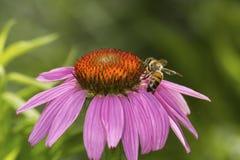 Honigbiene, die für Nektar auf einer purpurroten Kegelblume, Connecticu herumsucht Stockbilder