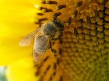 Honigbiene, die Honig auf einer Sonnenblume montiert Lizenzfreie Stockfotografie