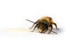 Honigbiene, die Honig leckt Stockbilder