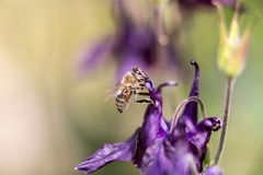 Honigbiene, die nach Lebensmittel sucht Stockfotografie