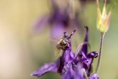 Honigbiene, die nach Lebensmittel sucht Stockbilder
