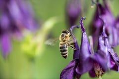 Honigbiene, die nach Lebensmittel sucht Stockfotos