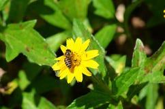 Honigbiene, die Nektar von einem gelben Gänseblümchen ähnlichen Wildflower in Thailand saugt stockfotos
