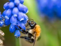 Honigbiene, die Traube Hyacinth Muscari erntet lizenzfreies stockbild