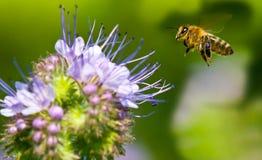 Honigbiene, die zu Phacelia fliegt Lizenzfreie Stockfotos