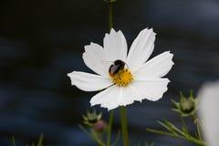 Honigbiene mit Blume Stockfoto