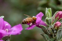 Honigbiene mit dem Blütenstaub auf Beinen in der weisen Blume lizenzfreie stockfotos